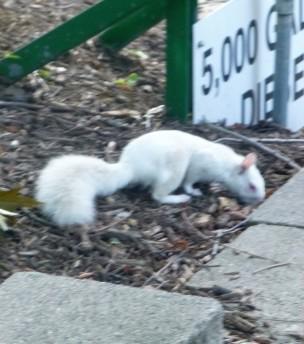 ecureuil-albinos
